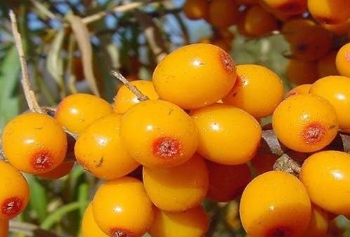 沙棘比猕猴桃维生素含量C更高吗?蚂蚁庄园沙棘和猕猴桃哪个维生素C含量更高[多图]